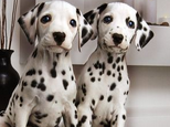 斑点狗的美容知识