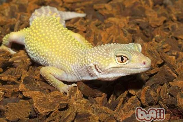豹纹守宫   豹纹守宫是非常漂亮的爬虫类动物,身体会有紫褐色及亮黄色的条纹(带状),当长大时黑暗条纹开始打散成小点,少数成体会留下一点点条纹图案,现今所被饲养的豹纹有二种基本颜色褐色及亮黄色。选择一只豹纹守宫需要注意一下几点:   一、眼睛饱满明亮,眼角没有沉淀物,如果眼睛出现凹陷或污浊,眼睛不能睁开或不情愿睁开都是有问题。   二、嘴巴不能有腐烂,口鼻部没有擦伤或是看似乾酪的组织。   三、食慾良好,尾巴肥大,会饿死的守宫有瘦长的尾巴,通常可以看得见肋骨及脊椎,腿很瘦长,像这样子已经在死亡边缘。