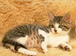 幼猫对猫粮有什么特殊的营养需求
