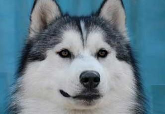 哈士奇幼犬健康心理的塑造与培养