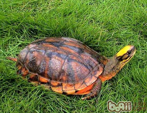 三线闭壳龟_金头闭壳龟价格_云南闭壳龟