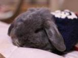 人工帮兔兔交配的方法