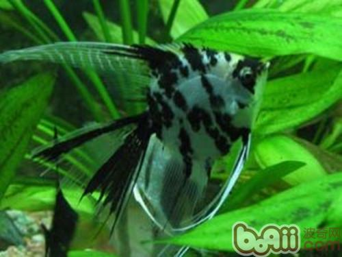 燕鱼在日常生活中的基本饲养