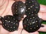 星点水龟的繁殖知识