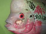 观赏鱼细菌性烂鳃病简介