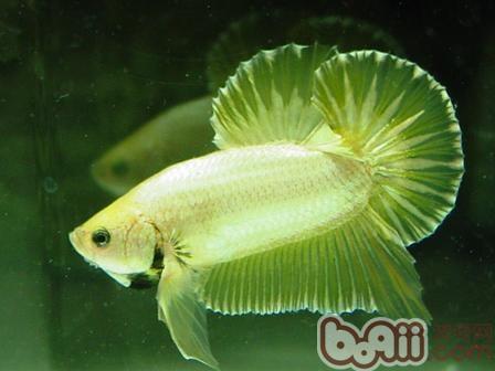 家庭养鱼如何避免鱼只死亡
