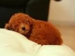 定期为狗狗清理耳毛