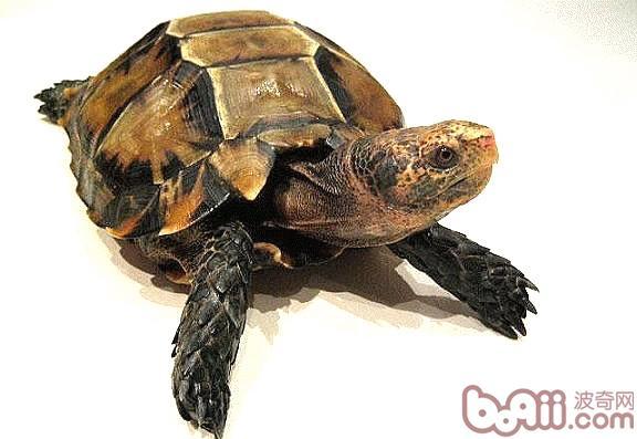 饲养陆龟时必备设备