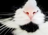 猫咪的嗅觉在日常生活中的作用