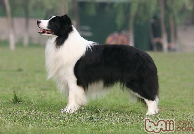 边境牧羊犬的品种介绍 波奇网百科大全