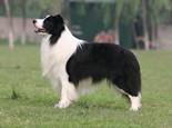 边境牧羊犬的品种介绍