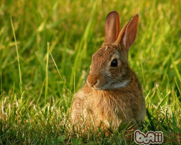 兔子是越来越受到大家喜爱的宠物,很多家长开始饲养可爱的兔兔