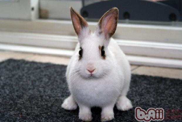饲养可爱的兔兔,夏天到了,炎热的天气让兔兔很容易感染上一些棘手的疾病,家长们不要慌张。小编今天给大家总结兔兔一些棘手疾病的防治。   仔兔流诞病是由于病毒引起的仔幼兔口腔、唇、舌等部位的粘膜发生水疱性炎症的急性传染性口炎。流涎病主要危害3月龄内的幼兔,断乳后l-2周仔兔尤易感染。   病兔初期口腔黏液发红,随即在嘴唇、舌和口腔的其他部位出现大小不一的水疱,水疱内充满液体,还有许多白色或灰白色的小脓疱,不久水疱溃破,形成烂斑或溃疡,并开始流有臭味的口水,口水沿着下颌部下流,沾湿粘成一片,造成炎症或脱毛,不爱