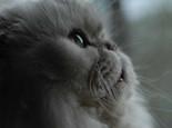 如何挑选金吉拉猫