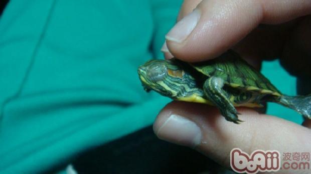 眼睛 乌龟 新手/患白眼病的硬币龟(硬币大小的龟,新手很喜欢买,但很容易生病...