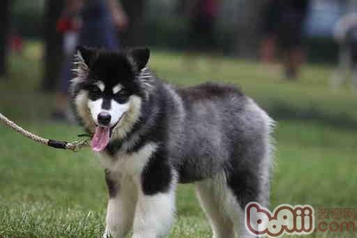 拉斯加犬好养吗_阿拉斯加犬