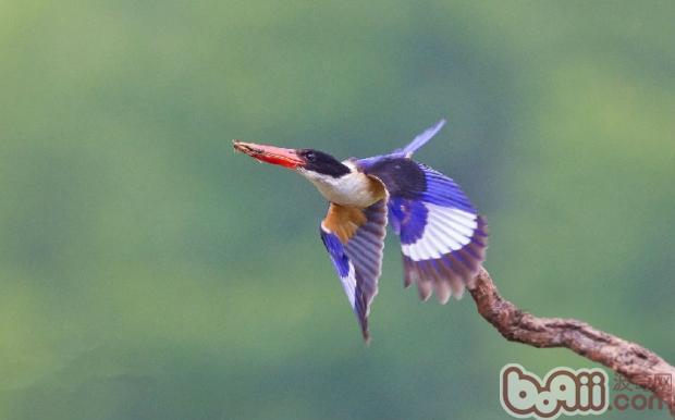 翡翠鸟的品种介绍