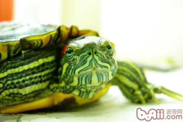 乌龟得了腐皮病怎么办?-轻博客