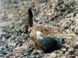 青藏高原上的小精灵——灰尾兔
