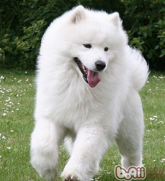 萨摩犬图片_萨摩犬价格2017年_萨摩犬价格