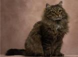 关于西伯利亚猫的介绍