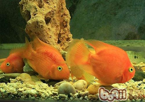 热带鱼多长时间产一次仔?