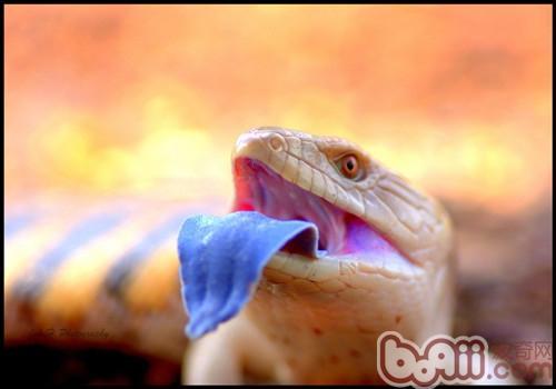 蓝舌石龙子