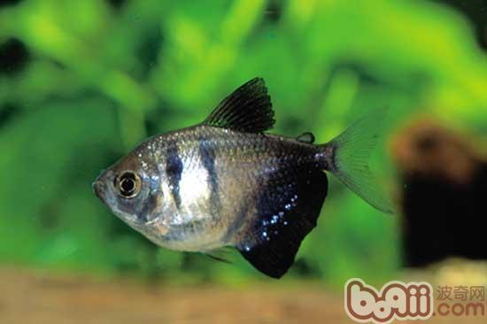 黑掌扇鱼的人工繁殖技巧