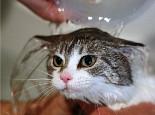 猫咪洗澡香波一定要冲洗干净