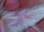 犬的常见皮肤病(一)过敏性皮炎