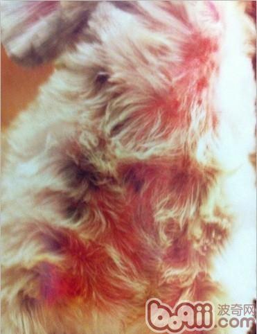 此犬颈部下大片皮肤潮红,家中时有抓痒现象,刮片后确诊为蠕形螨感染