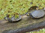 关于黄头侧颈龟的介绍