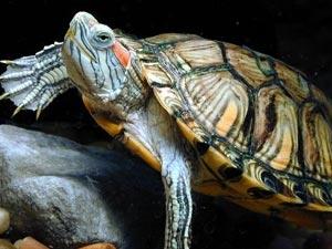 巴西龟冬眠的三种方式