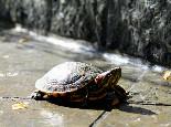 轻松学会如何鉴别宠物龟雌雄