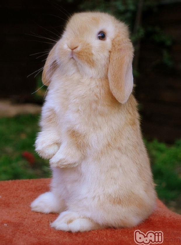 好看又好养的宠物兔推荐