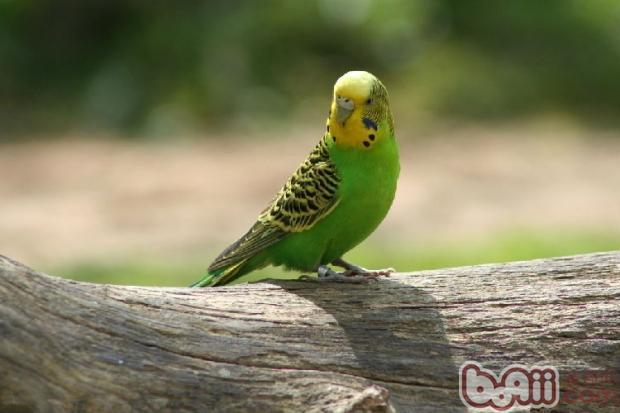 油渍污染到鸟类羽毛该怎么做