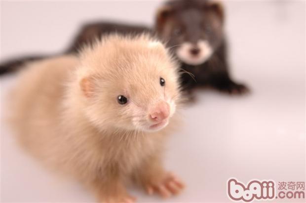 最常见的毛色叫做Sable,也叫做标准色。Albino,也叫白子,微黄的白色皮毛外加红色的眼睛,也是很常见的。 貂貂毛色的特征有很多种,这也是决定他们品种的唯一标准。标准色也叫蒙眼貂,脸是白色的,眼睛上带着佐罗面具一样的小眼罩(这个眼罩在夏天的时候会变得更加明显),四肢和尾巴上的毛则更深。