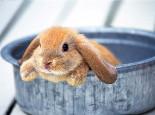 兔兔发情时的特征与行为改变