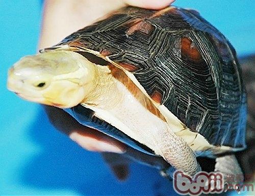 黄缘盒龟/黄缘盒龟