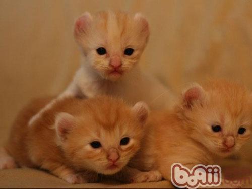 美国卷耳猫的性格特征介绍|猫咪品种-波奇网百科大全