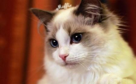 布偶猫常见疾病分析