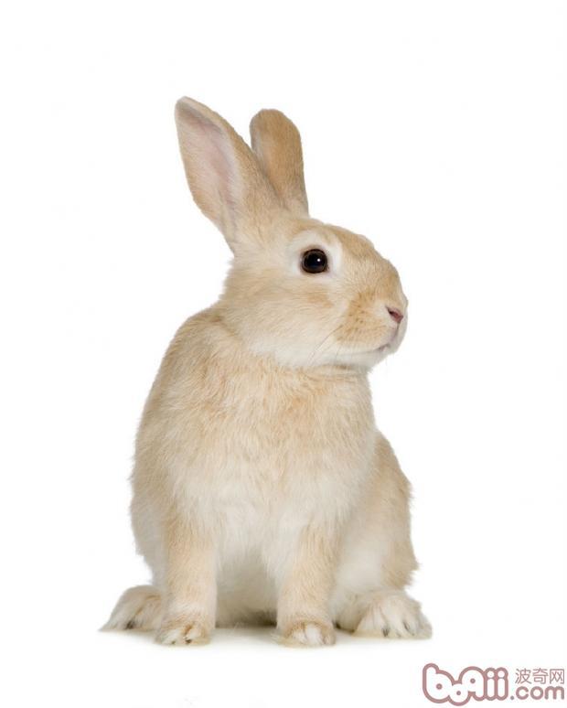 另公兔的绝育手术虽然较母兔的绝育要简单很多,但目前发生麻醉意外的却全部是公兔,观察总结下来原因很可能是公兔普遍比母兔更紧张,实际发生意外的兔兔也确实手术前非常紧张。所有请格外重视公兔此部分的情况。   怎样降低风险?   一、气候影响:   兔兔对炎热很敏感,炎热会加剧紧张,尤其你的兔兔属于非常紧张类型的,那夏季(南方还包括闷闷的梅雨季)不要去绝育。   二、挑选合适的手术时间:   医生和医院如果处于非常繁忙的时段,势必有些方面可能会疏忽,所以挑选医院较空的时间去很要紧。医院较空的时候犬猫也会少,还可以