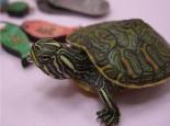 关于甜甜圈龟的介绍