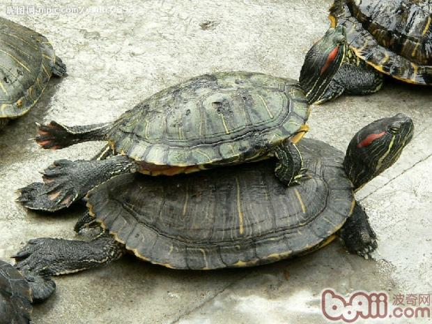 怎样区分雌龟和雄龟