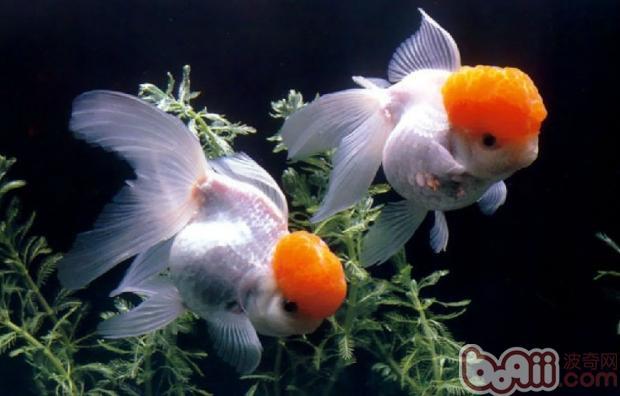 消毒措施是防止金鱼生病的关键