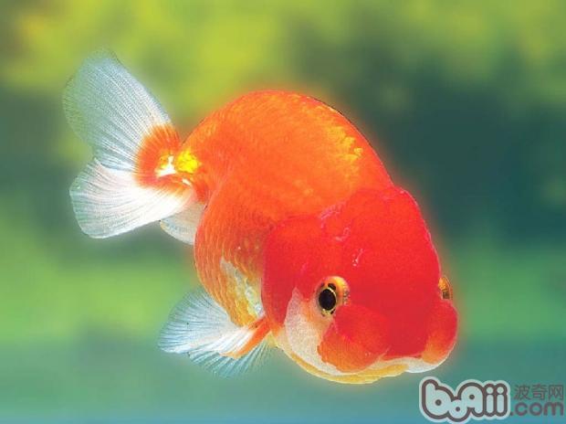 观赏鱼常用抗生素药物的配伍禁忌