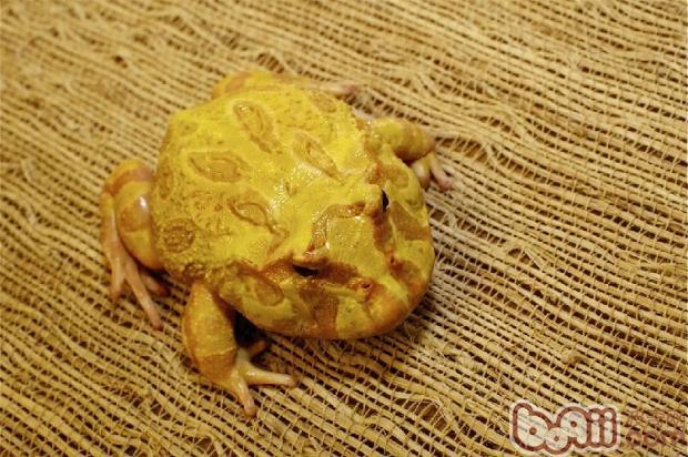 分辨蛙类雌雄的方法