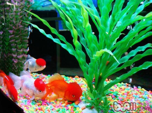 金鱼(详情介绍)   一、鱼缸应该怎么选择?   首先说一说鱼缸,养金鱼的缸种类很多,最常见的除了透明的玻璃鱼缸之外,有黄砂缸、瓦质缸、陶瓷 缸、木盆等。室内养金鱼的鱼缸可以选择不同的款式,如长方形、圆形等等,这需要根据实际的摆放位置大小和养鱼的数量来确定鱼缸的具体尺寸。如果是在室外养鱼,有经验的朋友会建议使用黄砂缸、瓦质缸,这类的鱼缸是比较适合在室外养鱼的。但值得注意的是,不能选用小口而深的缸来养金鱼,因为小口缸不仅水与空 气的接触面积小,影响水中容氧量,而且难以晒到阳光,不利 于青苔、绿藻进行光合作