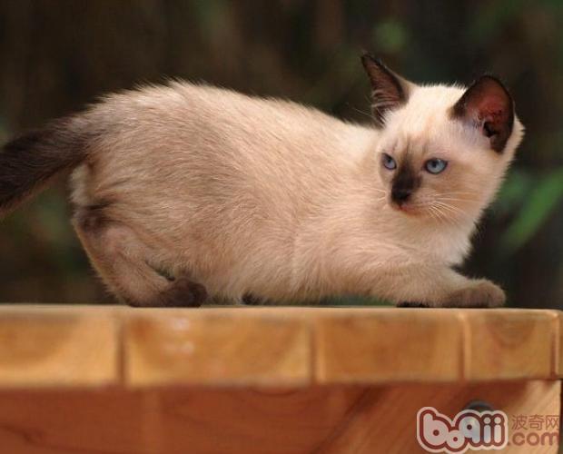 暹罗猫肥胖该怎么样减肥