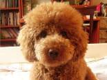 喂养泰迪犬有哪些误区